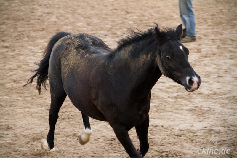 Freispringen - Sachsen Pferde