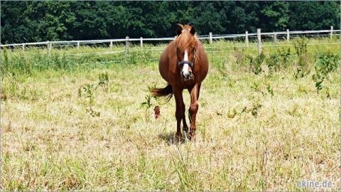Neues Pferd – Emil Vikinger