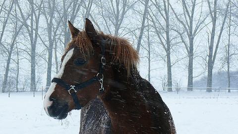 Schulpferde auf der winterlichen Weide