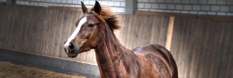 sachsen_pferde